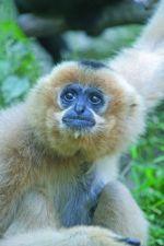 Le gibbon fait partie d\'un programme de conservation au zoo de Mulhouse