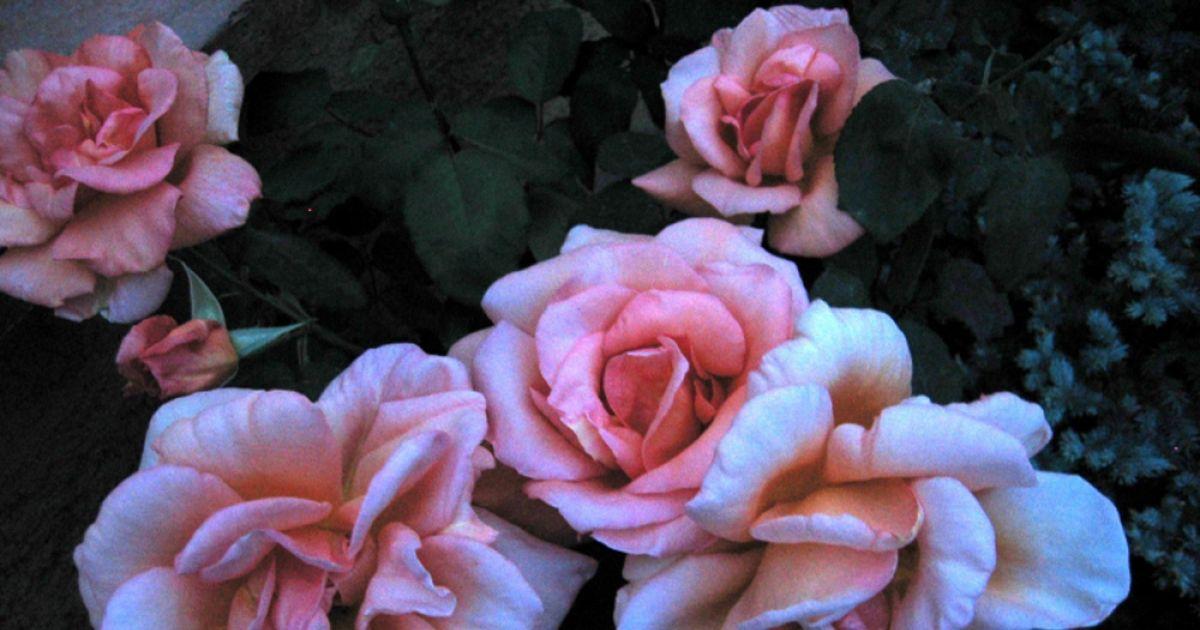 journ es des roses d automne bad bellingen hertingen animation le jardin des roses. Black Bedroom Furniture Sets. Home Design Ideas