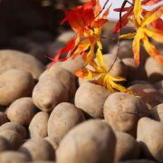 Kartoffelmarkt 2021 à Neuenburg-am-Rhein (D)