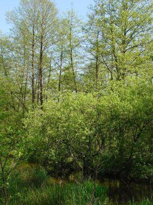 L\'Aulnaie de l\'étang de Baerenthal est l\'une des nombreuses richesses du Parc naturel régional des Vosges du Nord