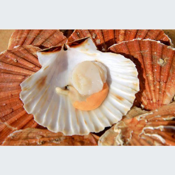 La coquille saint jacques - Cuisiner le corail des coquilles saint jacques ...
