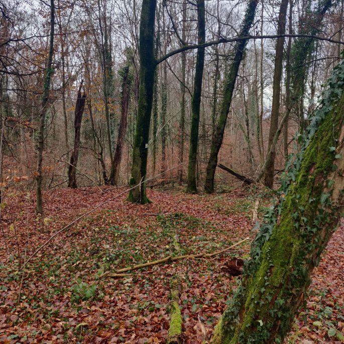 La forêt du Tannenwald