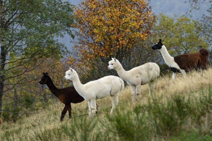 La montagne des lamas