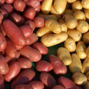 La pomme de terre : les différentes variétés