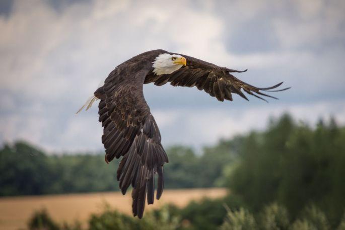 La volerie des Aigles à Kintzheim