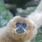 Journée des gibbons