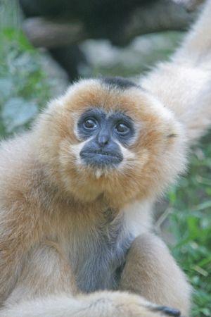 Le gibbon, un petit singe espiègle et amusant !