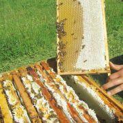Le miel made in Haut-Rhin : les petites butineuses d\'Uffheim