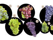Le Vin d\'Alsace enfin décrypté : les sept cépages alsaciens