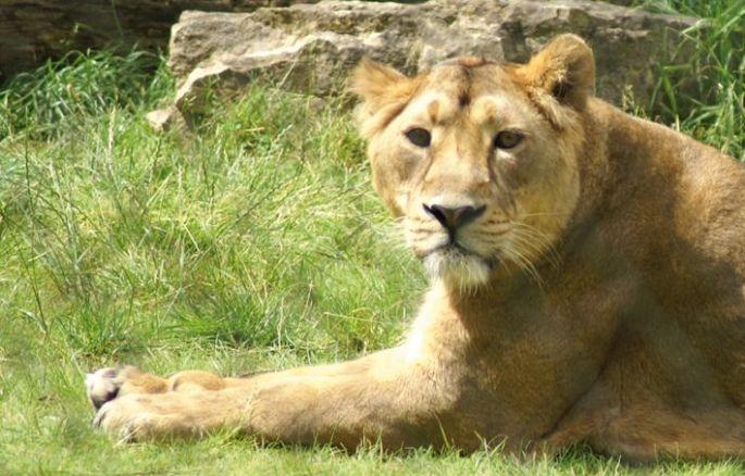 Une lionne d\'Asie au Zoo de Mulhouse
