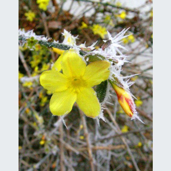 Les arbustes floraison hivernale for Floraison hiver