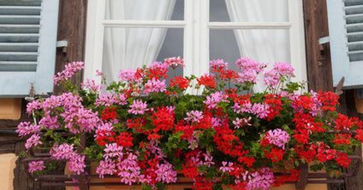 Les g raniums en alsace - Quand rentrer les geraniums ...