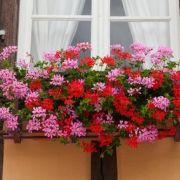 Les géraniums en Alsace