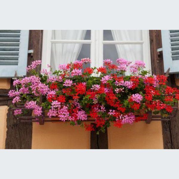 Les g raniums en alsace - Quand planter les geraniums ...