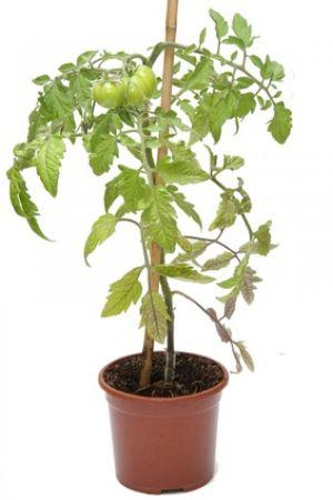 Les plants de tomates, faciles à cultiver sur une terrasse