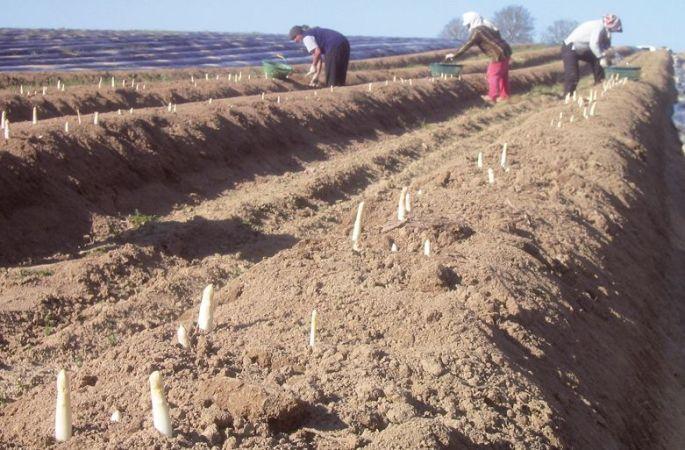 Les producteurs d\'asperges en Alsace
