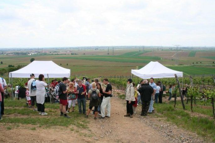 Le vignoble alsacien à découvrir lors de la Marche gourmande du Sonnenberg à Kuttolsheim-Nordheim