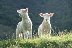 Mars: le mois de l'agneau