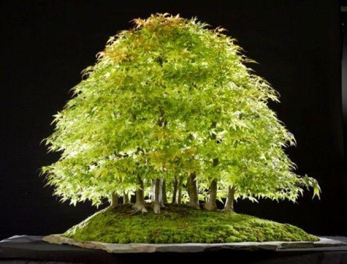 Forêt d'érables crées par Pierre Herault, l'un des tout premier « Niveau 3 » de la FFB