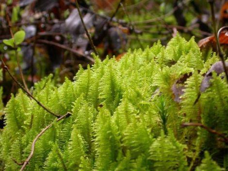 Ptilium crista-castrensis, moousse du Petit Hohneck