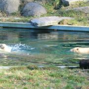 Nanuq, l\'ourson du Zoo de Mulhouse