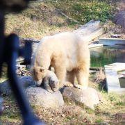 Nanuq, l\'ourson du Zoo de Mulhouse