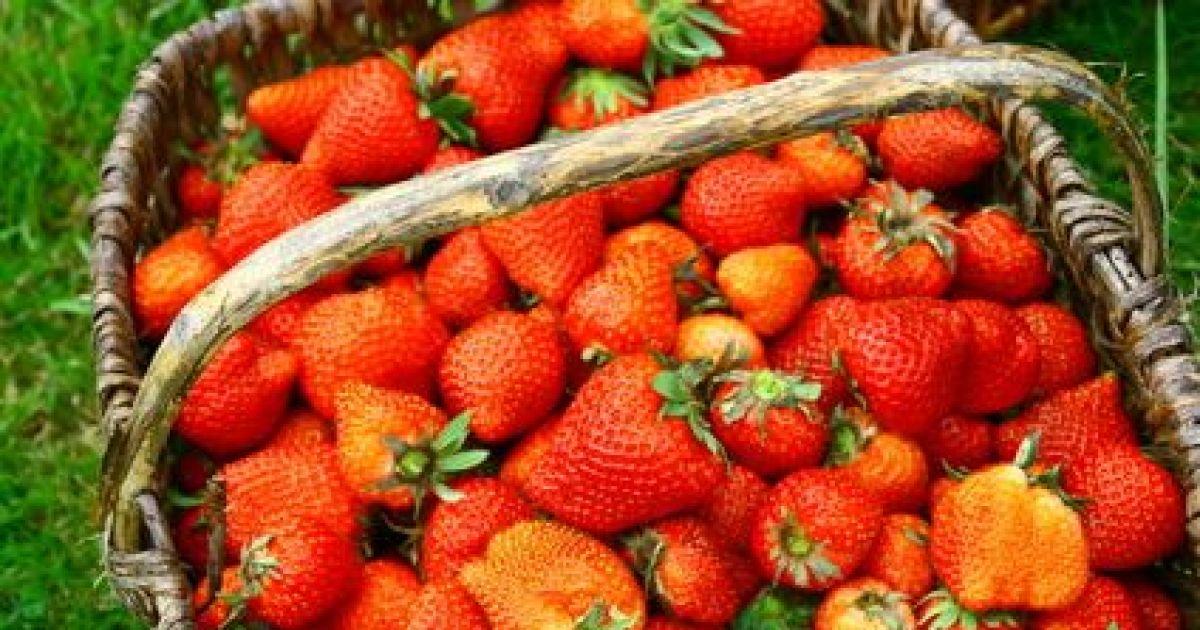 Avis et commentaires o cueillir des fraises en alsace - Comment cueillir des fraises ...