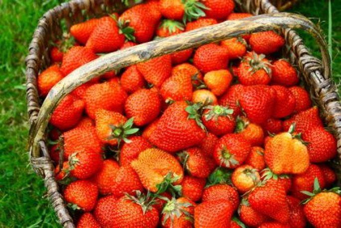 Où cueillir des fraises en Alsace?