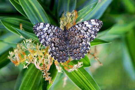 Un morceau de dentelle? Non, un papillon se nourrissant !