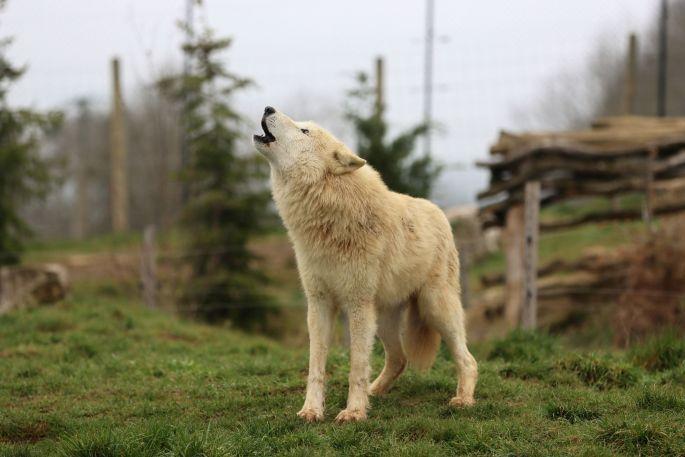Des loups vous attendent au Parc de l\'Auxois, un parc animalier près de Dijon