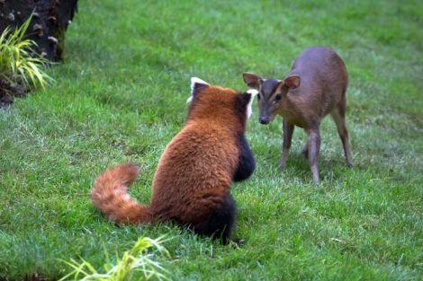 Le panda roux joue avec le muntjac