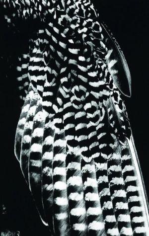 Phénomènes : Aile de faucon 1988 Photographie noir et blanc 177 x 114 cm Tirage : 2/3 Achat à la Galerie Durand-Dessert en 1997 Collection Frac Alsace