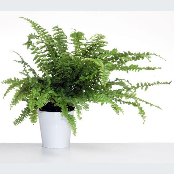 Plantes et fleurs quelques championnes de la d pollution mulhouse colmar haut rhin 68 for Fleurs et plantes
