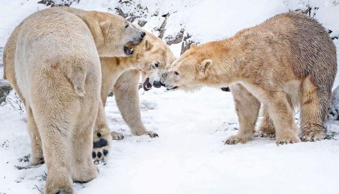 Les ours polaires ne craignent pas vraiment la bise alsacienne!