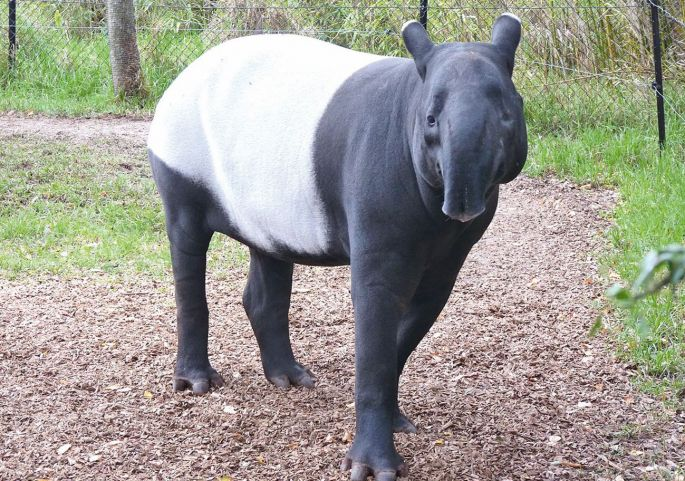 Un tapir malais