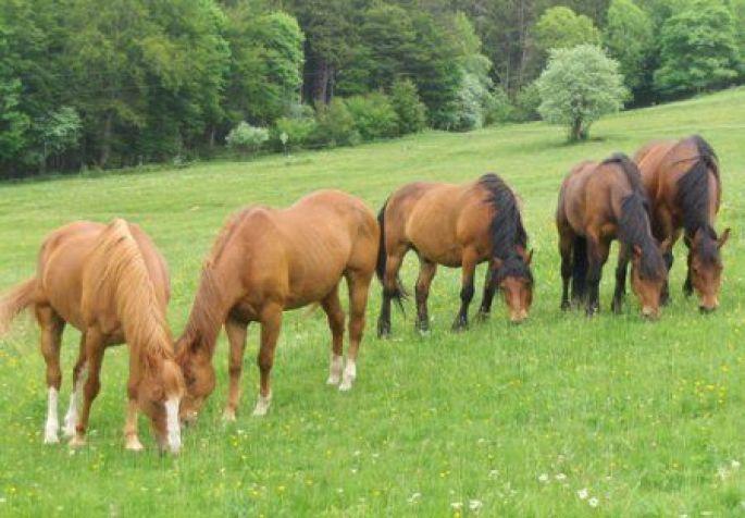 Les chevaux du ranch en liberté dans leur pré