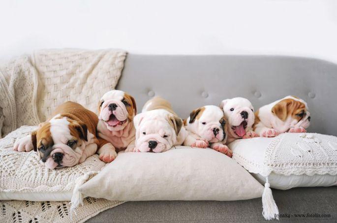 52 races de chien seront présentées sur le salon