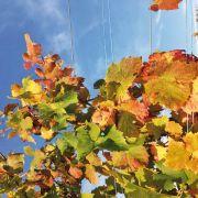 Le vignoble haut-rhinois en automne
