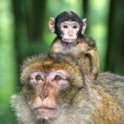 A la rencontre des macaques de Barbarie