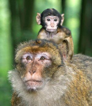 Les adorables macaques de Barbarie en pleine liberté