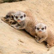 Naissance de suricates au zoo de Mulhouse