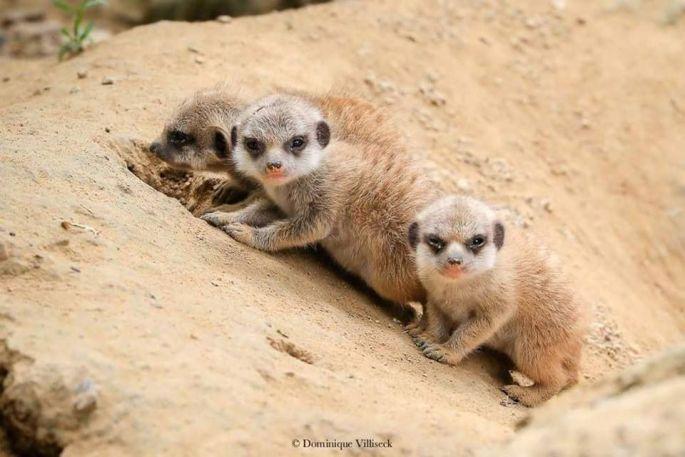 Dominique Villiseck, photographe amateur passionné par les animaux, a immortalisé les bébés suricates