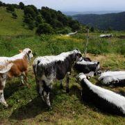 Transhumance de printemps 2018 dans les Vosges en Alsace