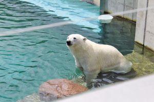 http://www.jds.fr/medias/image/vicks-l-ours-polaire-du-zoo-vs-fritz-l-alsacien-du-65712
