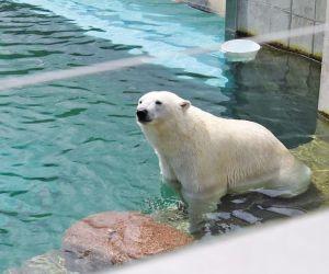 Match : Vicks, l'ours polaire du zoo VS Fritz, l'Alsacien du Sundgau