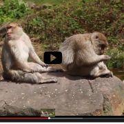 Vidéo : Réouverture de la Montagne des singes à Kintzheim