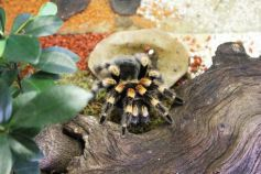 Une mygale qui a l\'air... bien sympa !
