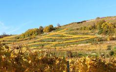 Le vignoble de Westhalten, par une belle journée d\'automne