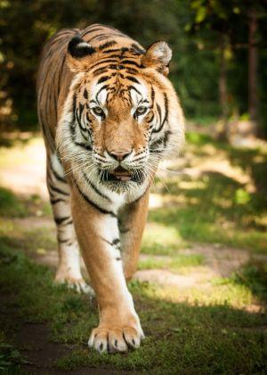 Le Zoo d\'Amnéville accueille des animaux du monde entier, ici le tigre