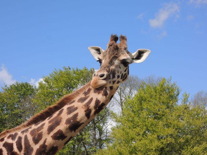Girafe au Zoo de la Bourbansais